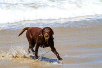 Chocolate Lab in play