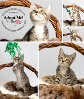 2013-09-05-Pet-Mania-Grey-Tabby-Girl-10 wks